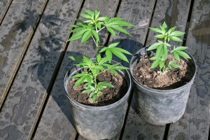 Why-Everybody-Should-Be-Allowed-To-Grow-Marijuana-At-Home